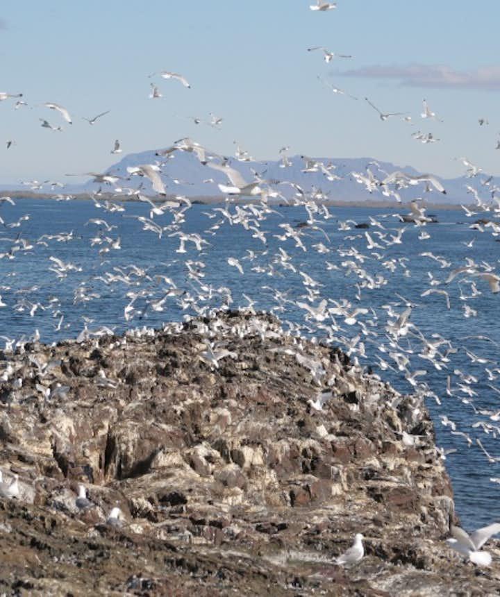 Bird watching in Iceland