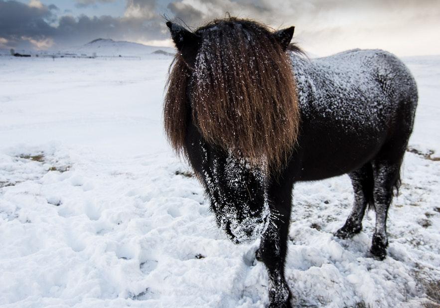 icelandic horse in winter coat
