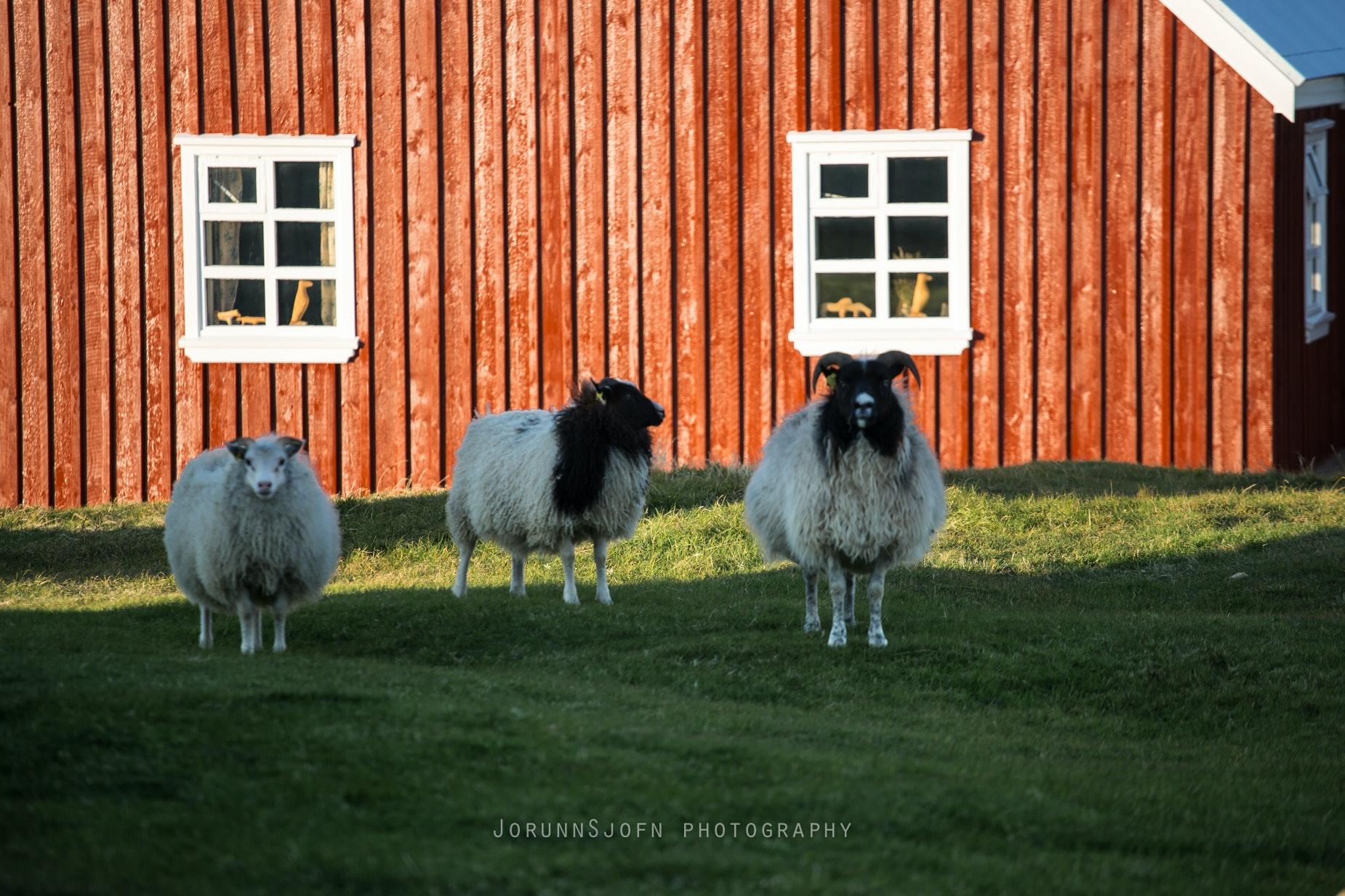 sheeps of Iceland