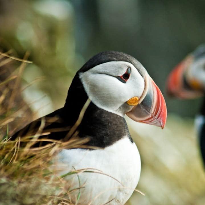 观北极海鹦旅行团 - 冰岛国鸟 雷克雅未克出发