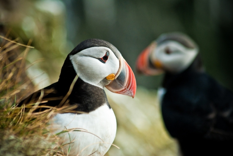 The puffin is one of Iceland's most adored creature.