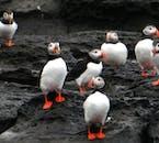 Papageientaucher-Tour ab Reykjavík