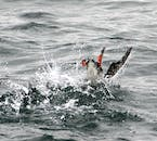 A puffin diving for food.