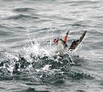 海に潜るパフィン