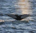 Las ballenas aparecen a menudo muy cerca de los barcos de observación.