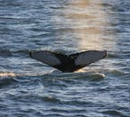 The whales often appear extremely close to the whale watching vessels.