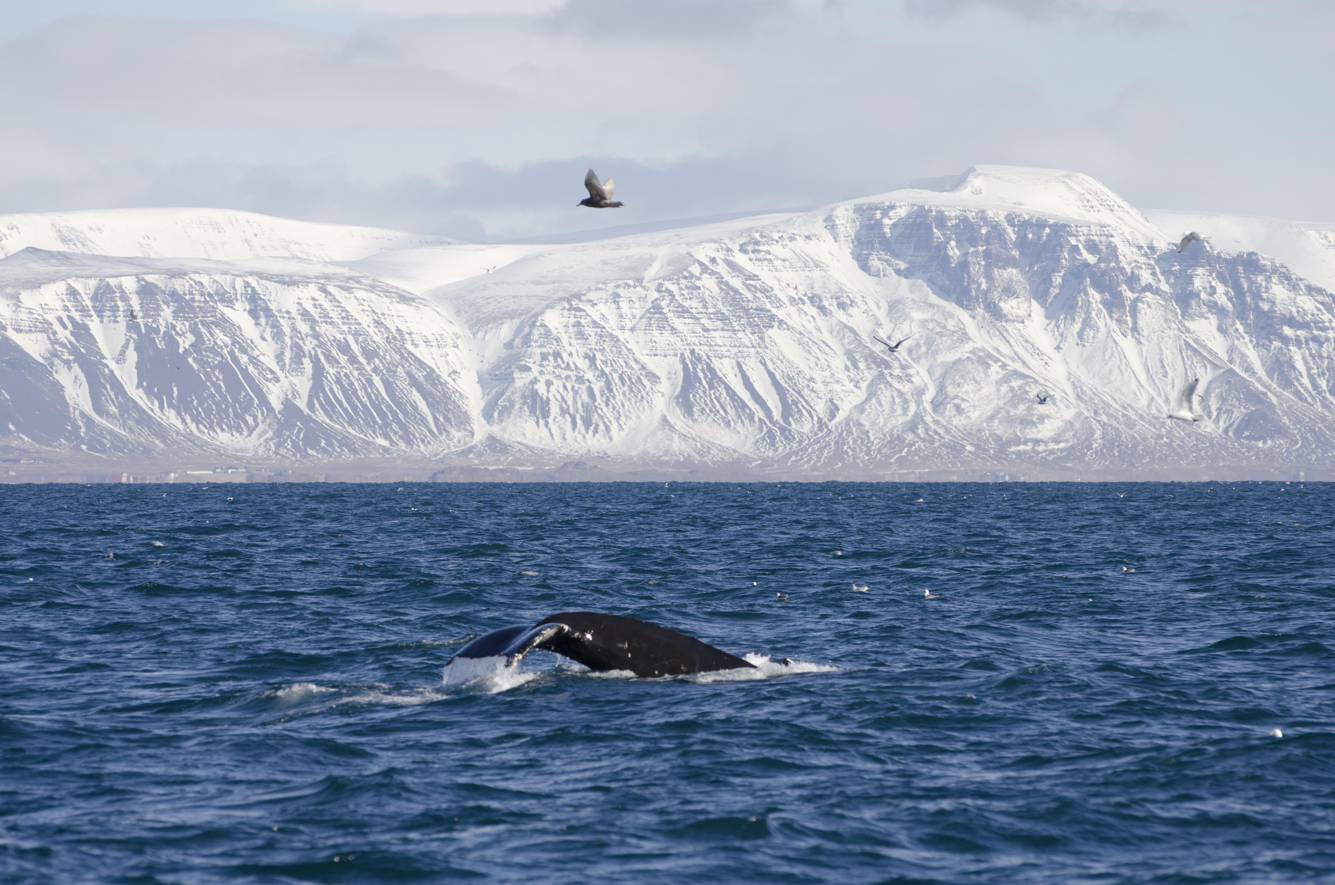 Een bultrug die in de winter in de zee voor de met sneeuw bedekte bergen in het westen van IJsland duikt.