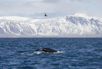 Sortie observation de baleines en hiver au large de Reykjavik