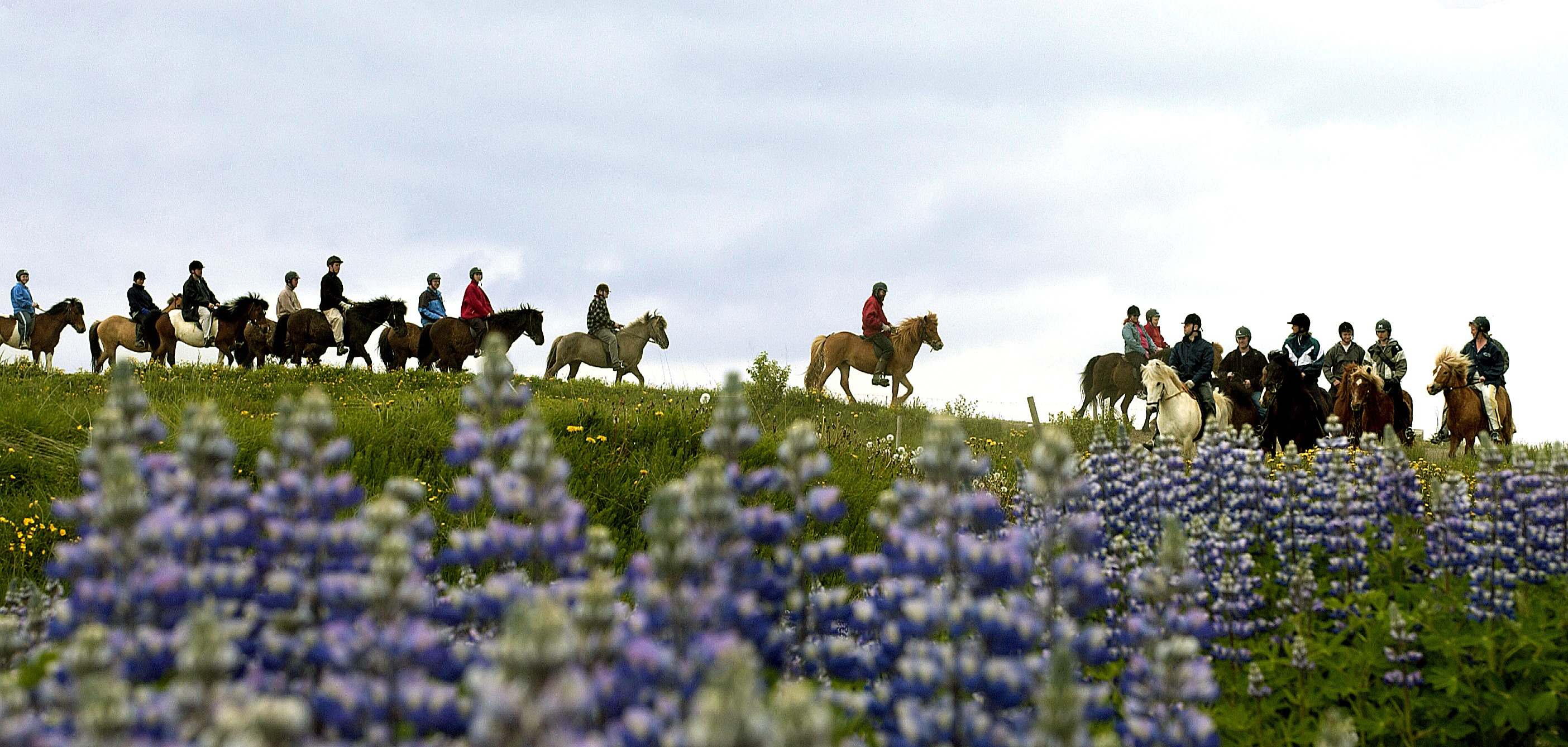 Lupins are a common sight across Iceland in summer.