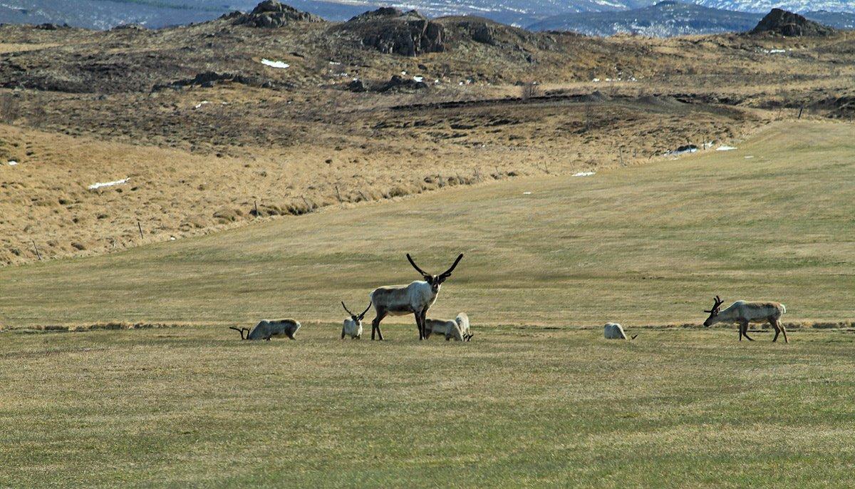 一只位于冰岛东部,正在保护他幼子的母驯鹿
