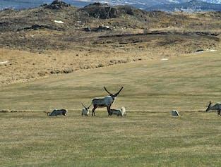 東アイスランド発 スーパージープで行くトナカイ・サファリツアー