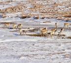 Reindeer traversing East Iceland's winter landscapes.