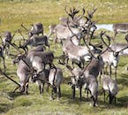 Reindeer are incredibly social animals and always travel in large herds.