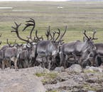 On a Reindeer Safari you have the chance of an up-close encounter with these magnificent animals.
