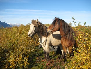 Horse-riding near Husavik | Family friendly excursion
