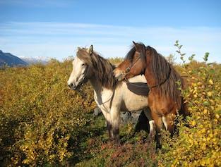 Balade à cheval en famille vers Husavik