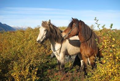 Horse-riding near Husavik | Family-friendly Excursion
