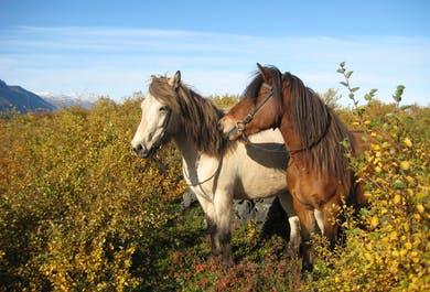 Horse-riding near Husavik   Family-friendly Excursion