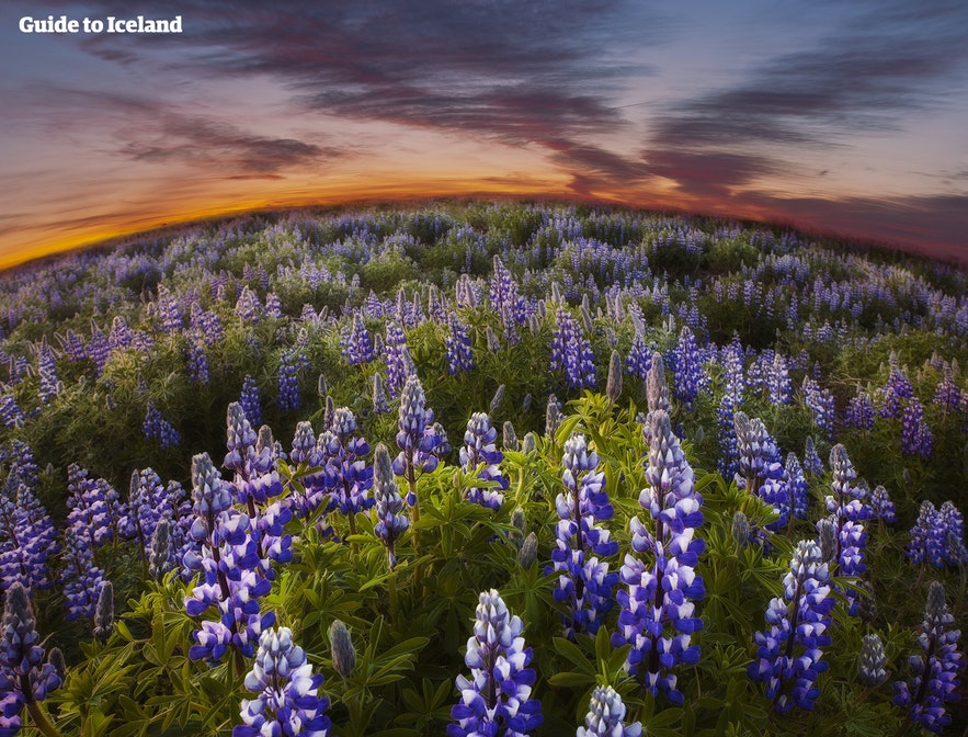 A field of purple lupines in Iceland