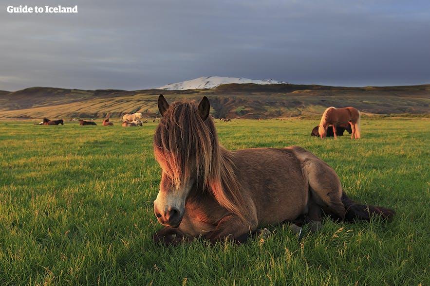 Kiedy najlepiej odwiedzić Islandię? Islandzkie konie w trakcie białych nocy!