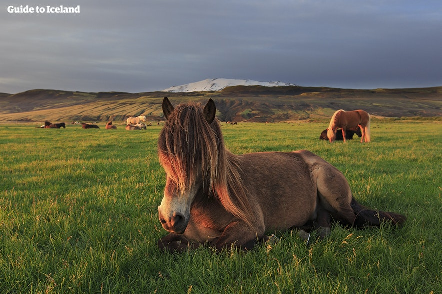 When is the best time to visit Iceland? This horse likes it in summertime!
