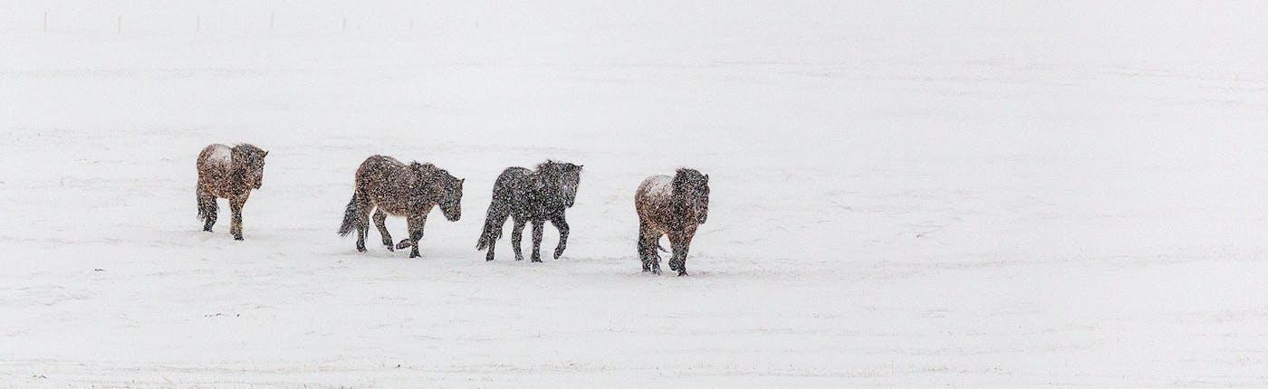 雪嵐に慣れているアイスランドの馬たち
