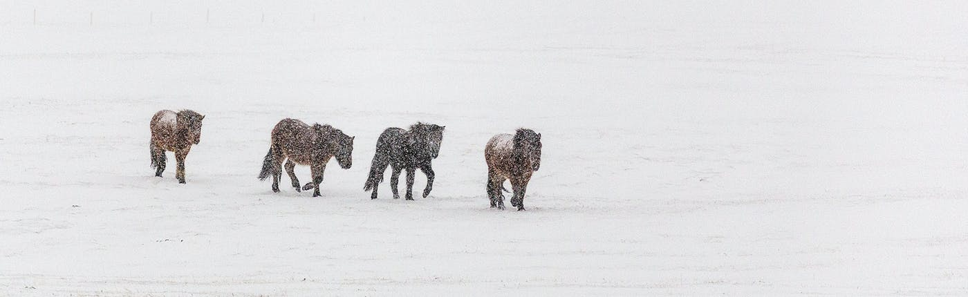 Sturdy, Icelandic horses in wintertime