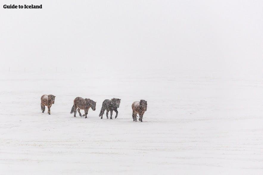 Island-Pferde, die dem Schneesturm trotzen