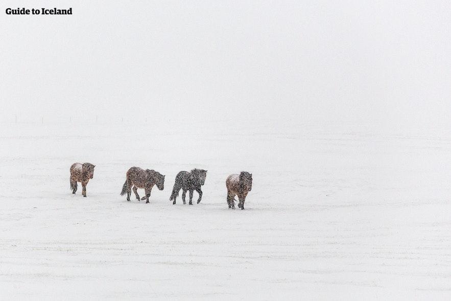 Chevaux islandais évoluant dans une tempête de neige