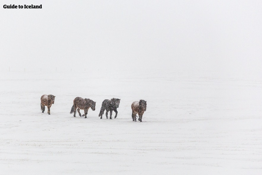 Icelandic horses finding their way in a snowstorm
