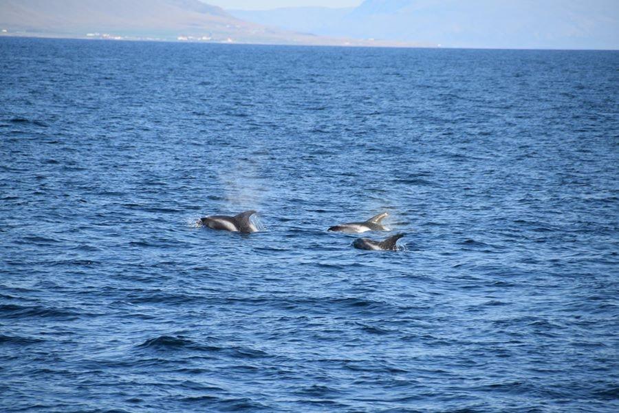 冰岛观鲸鱼