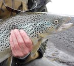 Brown Trout and Arctic Char are the most common catch in Iceland.