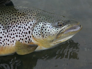 Sea trout, char and salmon - Day Tour fishing to a great river