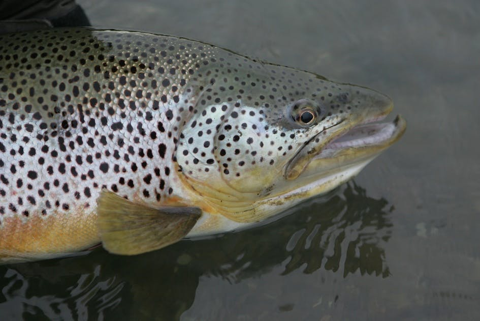 Sea Trout, Char and Salmon   River Fishing Day Tour