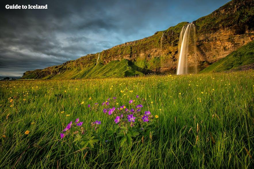 La cascada de Seljalandsfoss en el sur de Islandia cae desde un acantilado cubierto de musgo en los campos de flores silvestres en verano.