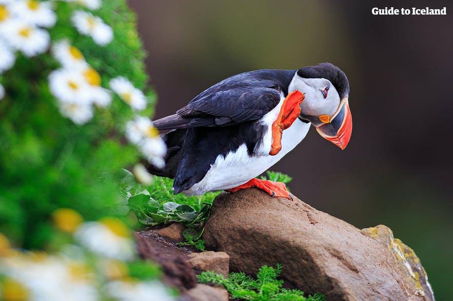 A happy puffin in Iceland