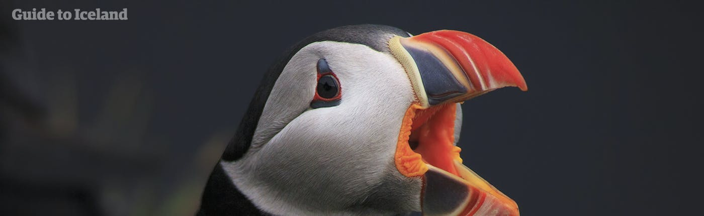 Icelandic puffin trying to communicate!