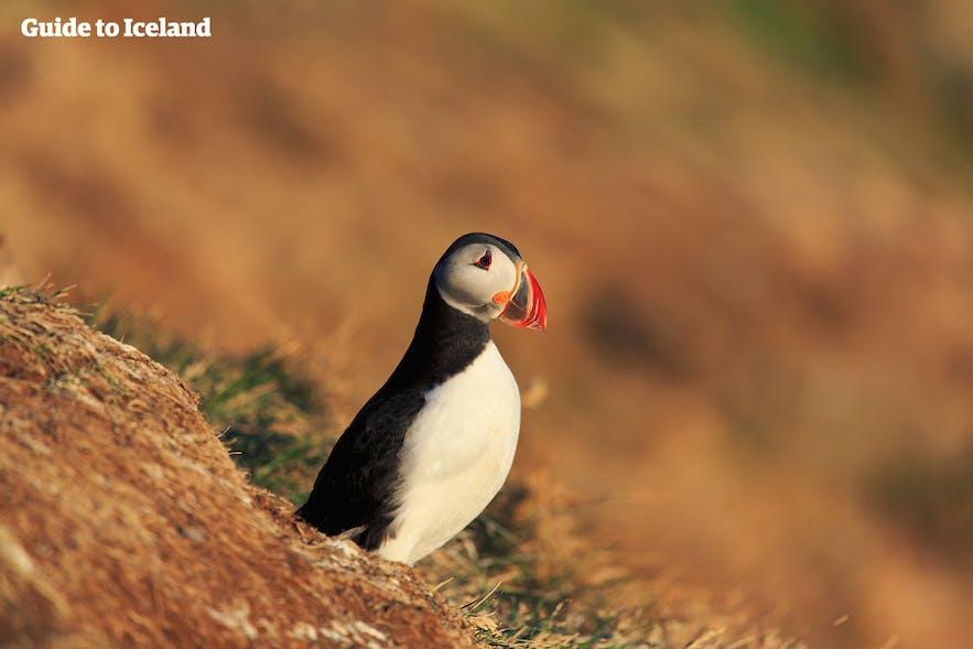 Wanneer is de beste tijd om IJsland te bezoeken? Voor papegaaiduikers, moet je er in de zomer zijn :)