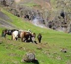 Steam of the Hengill geothermal area rises behind grazing Icelandic horses.
