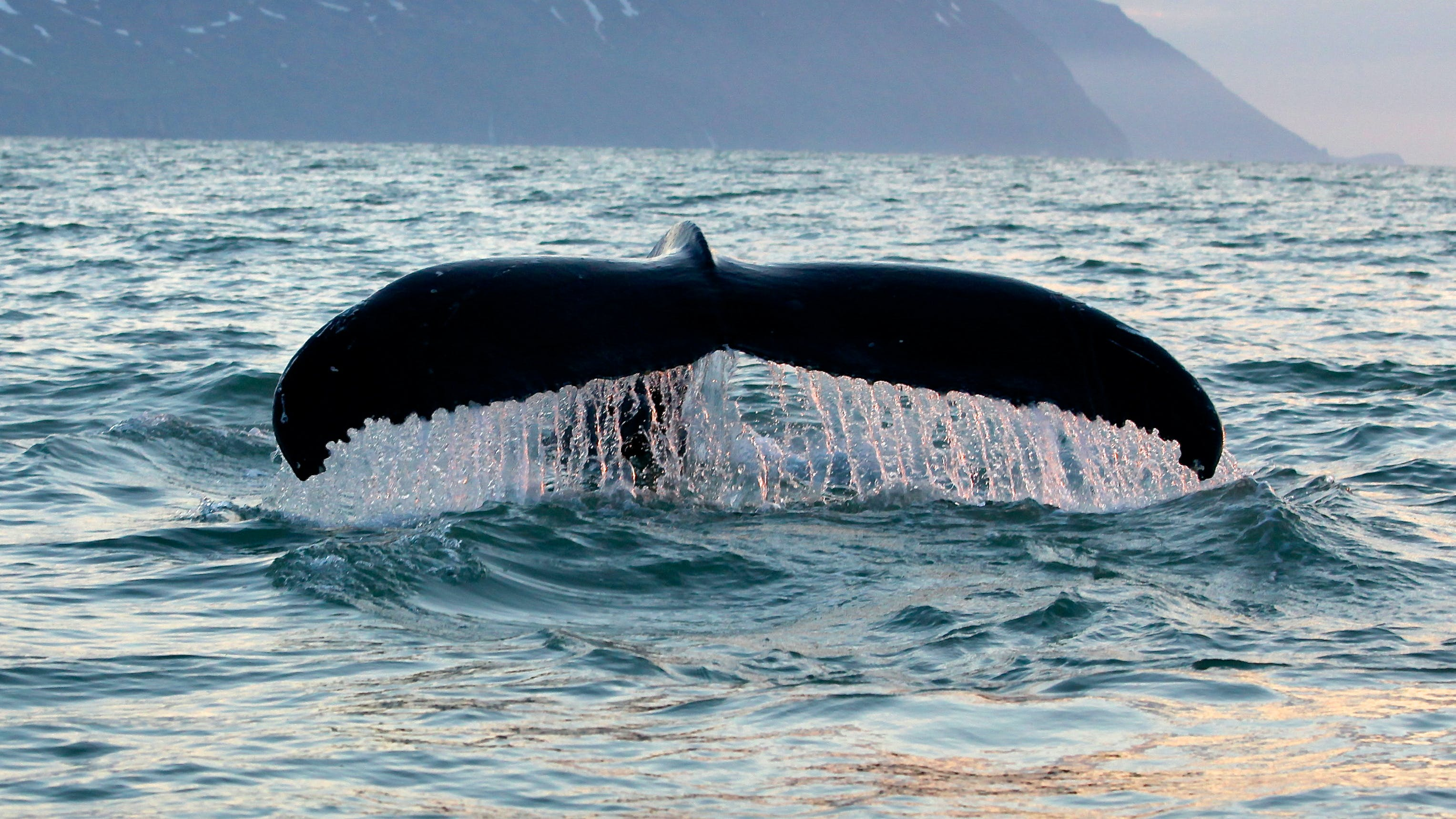 Whales and Puffins Tour from Húsavík