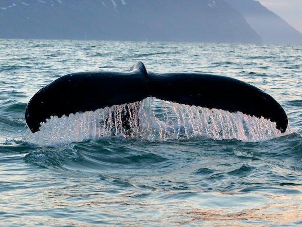 Salka Whale Watching