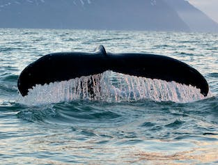 Whales and Puffin Watching From Husavik