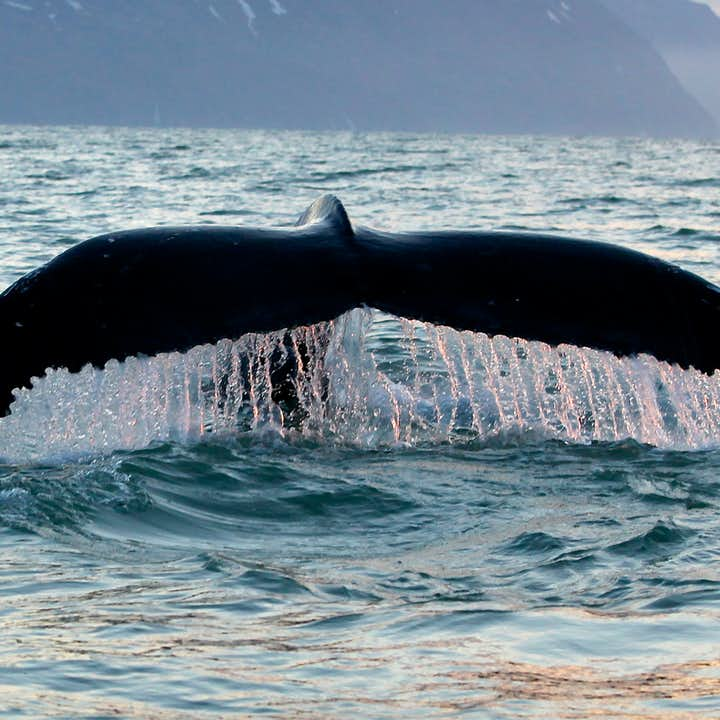 The distinctive whale tail.