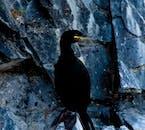 The cliffs of Breiðafjörður are teeming with birdlife.