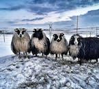 ATVツアー後は小さな牧場に寄り道し、アイスランドの羊と触れ合うチャンスがある