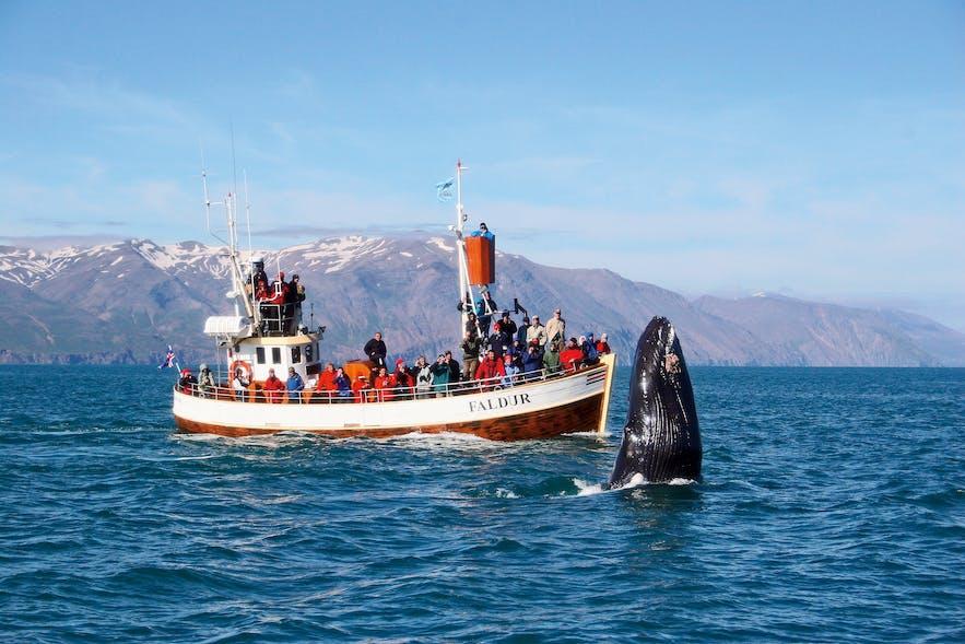北部胡萨维克小镇是最著名、成功率最高的观鲸地点