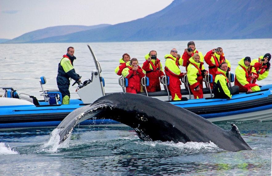 Almost twenty Humpbacks in Skjalfandi bay