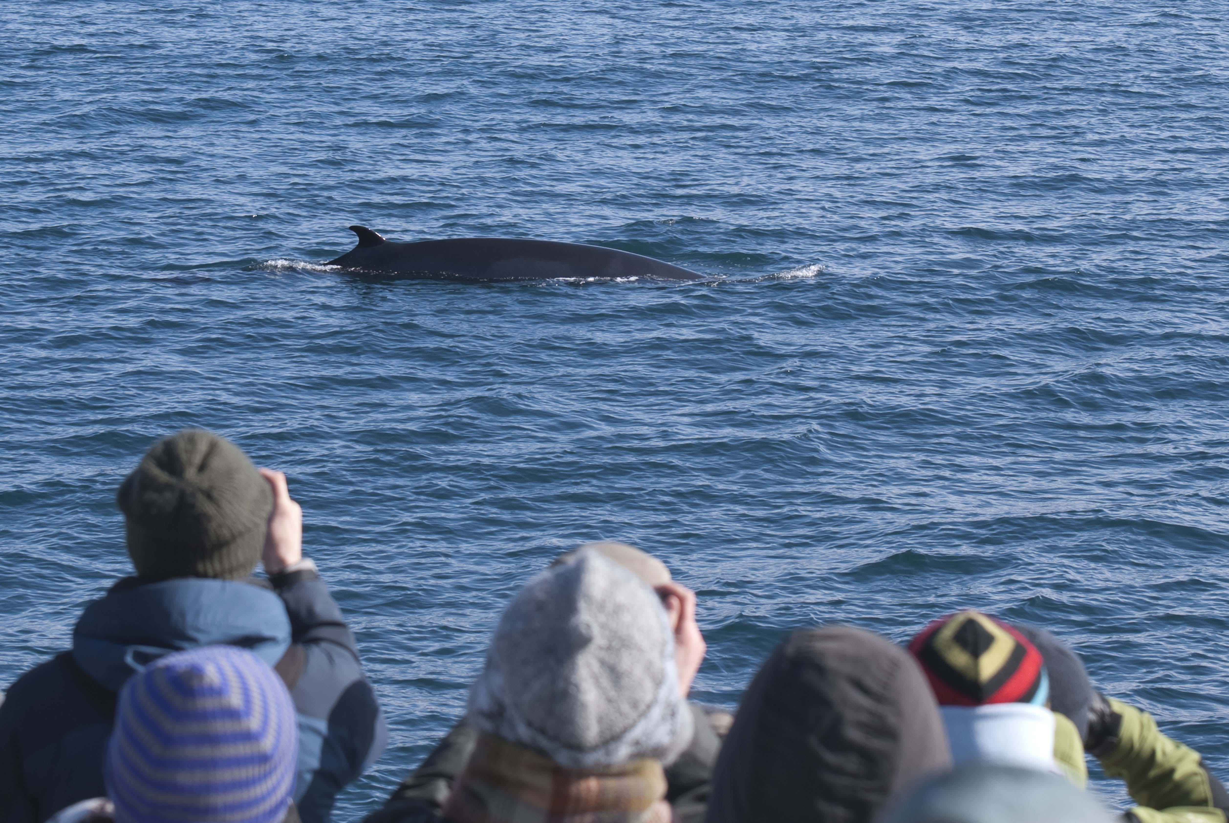 Close up | Whale Watching Tour with Puffins & Reykjavík Coast