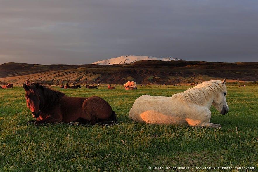 Islandzkie kuce wypoczywające w trakcie białych nocy