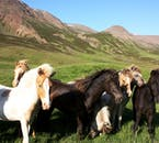 Icelandic horses are all over the Icelandic countryside.
